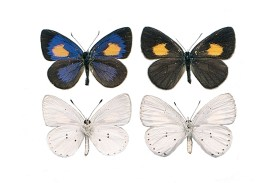 Photos of the top and underside of a male and female butterfly. The topside of each is black with a large yellow spot on the top wings. The male also has azure colouring through the inner to central areas of each wing. The underside of each butterfly is a bright white with some small black spots.