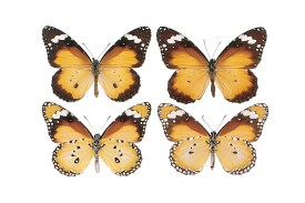 Photos of the top and underside of a male and female butterfly. The topside of each is orange, deepening to dark brown at the edges, with with spots. The underside of each is a lighter oranges, with darker patches in the upper wings and a thin border of black with white spots around the wing edges. The male has an extra black spot in the centre of the lower wings.