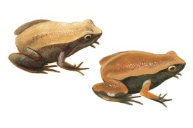 Frog painted in side profile twice. Both forms have lighter brown back and darker brown sides, though there are colour variations.