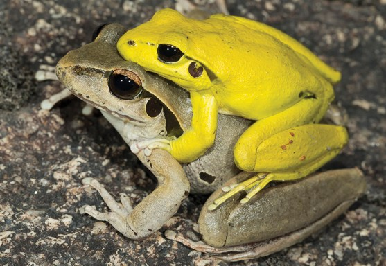 Two Eastern Stony Creek frogs, one is grey in colour and the other, sitting on its back, is bright yellow.