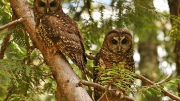 Endangered-owls-continue-to-decline-drastically-in-national-park-730x410
