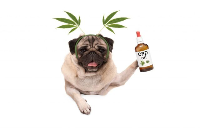 10 Reasons to Give CBD to your Pet