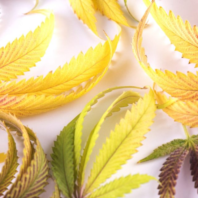 Don't Believe All the 'Science' on CBD Products