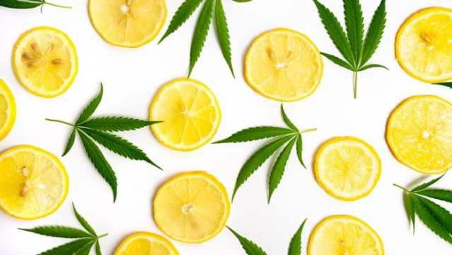 Successful initial results using cannabis terpenes to treat COVID-19