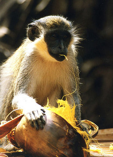 Monkey in Gambia