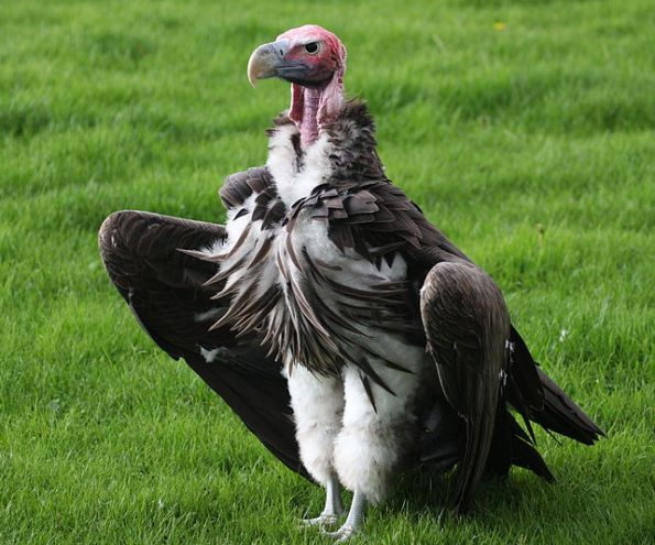 800px-Lappet-faced_vulture_1