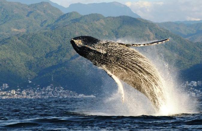 whales puerto vallarta
