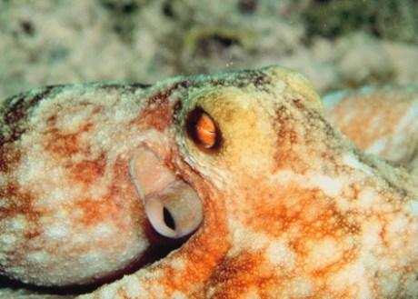 Pulpo, octopus