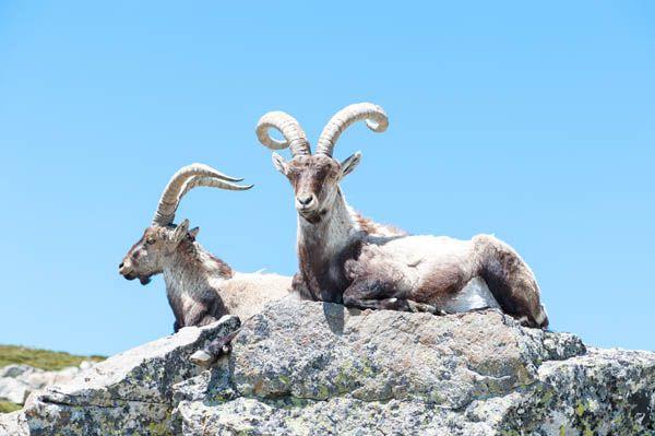 Sierra de Gredos cabra montesa
