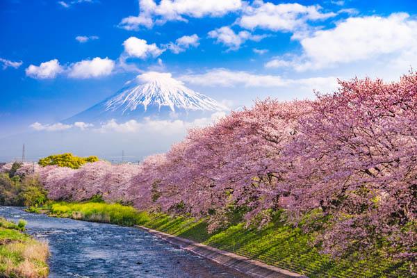 Sakura - cerezos en flor en Japón