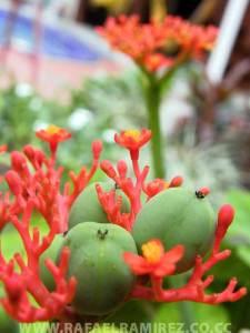 Flor y fruto. Fotografía Rafael Ramírez (2007)