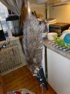 The Bengtsson-Korsas family found a 40-cm-long rat in their apartment near Stockholm. - Justus Bengtsson-Korsas / Facebook