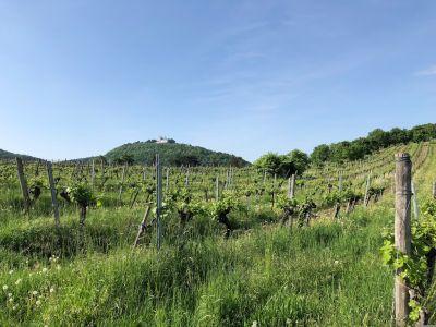 Blick über die Nussdorfer Weinberge zur Leopoldsburg am Leopoldsberg