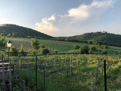 Blick über die Weinberge des Nussbergs zum Leopoldsberg mit der Leopoldsburg