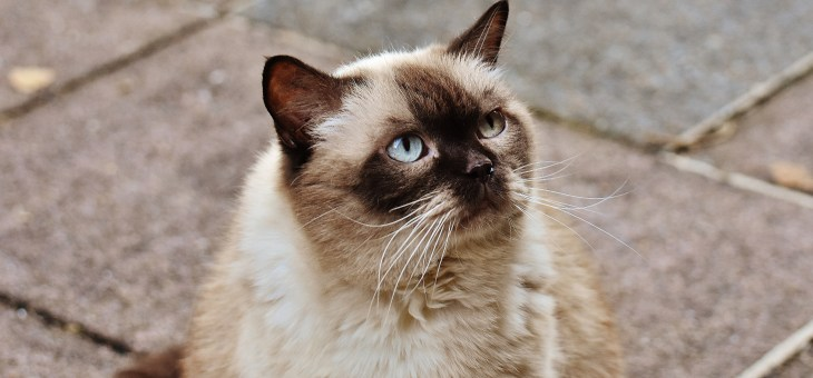 Hyperthyroidism in Cats: Common But Treatable