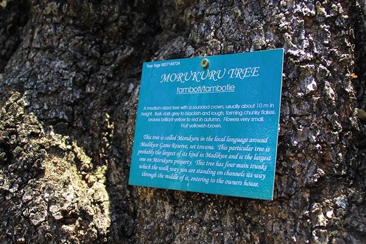 The Morukuru Tree