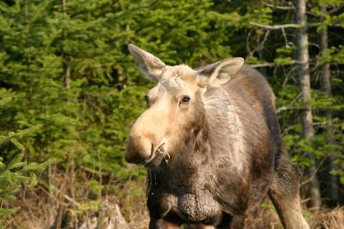 Cow Moose, Moose Alley NH