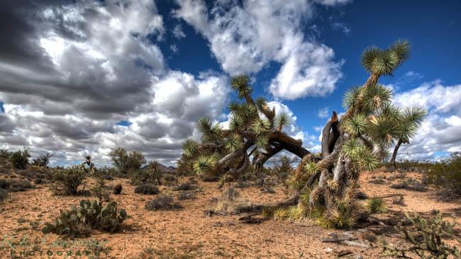 Joshua Tree in AZ