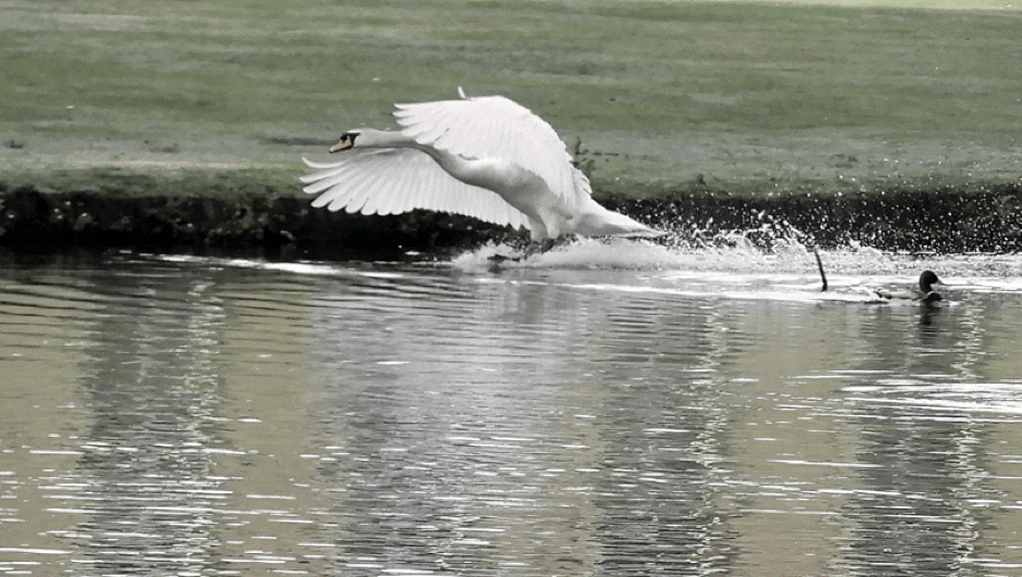 A swan defending its territory