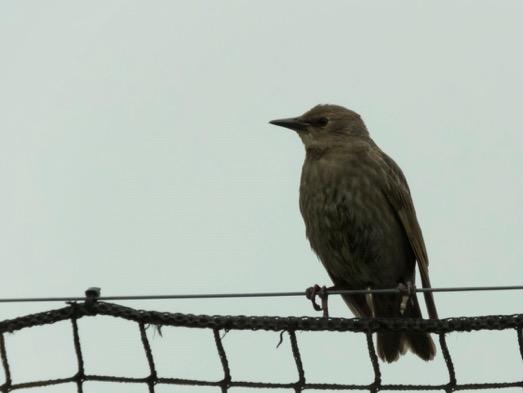 Baby Starling