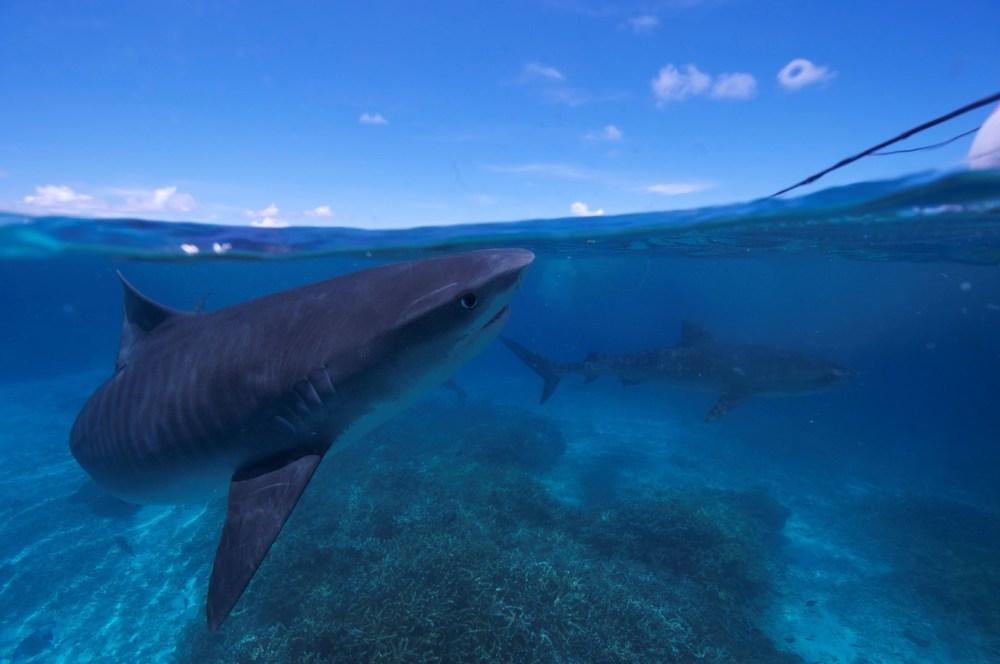 Nick Payne Tiger Shark. Photo credit: Adam Barnett