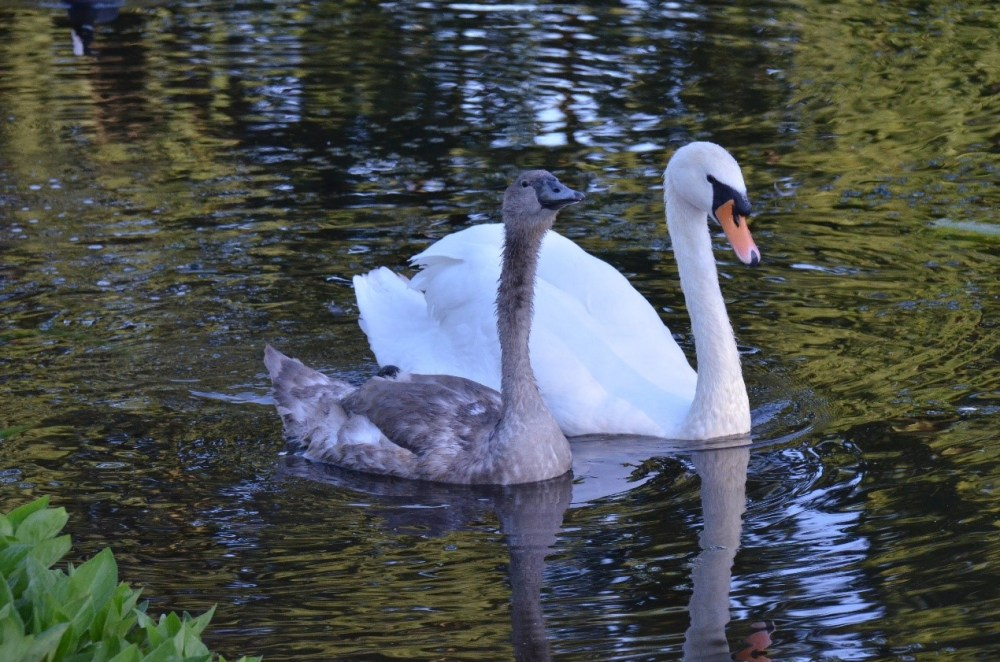 Last photo of the cygnet