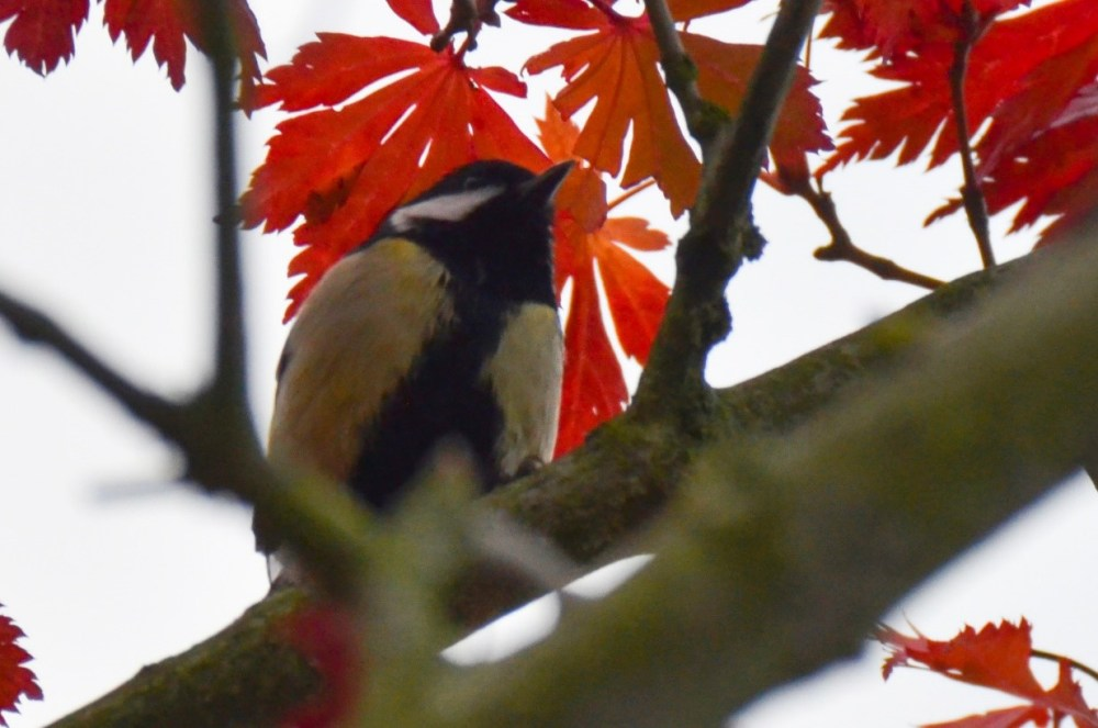 Great Tit amid Autumn leaves at Digby