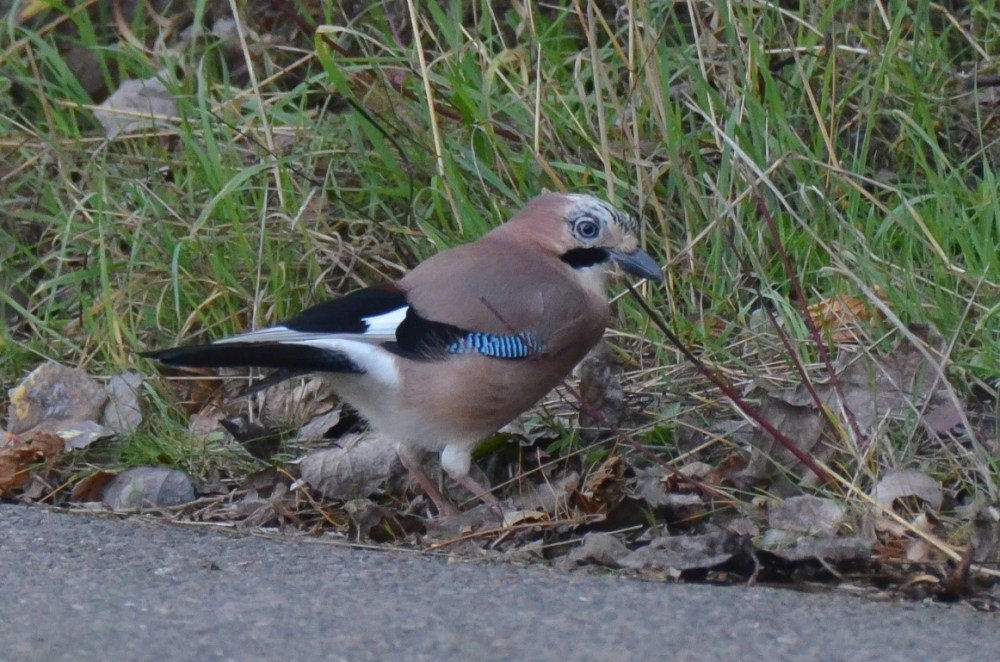 A Jay on the ground
