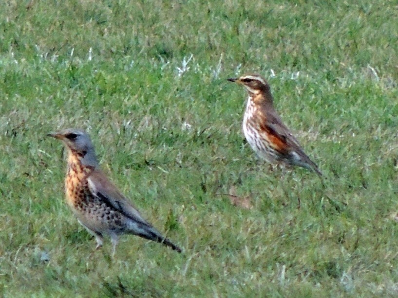 Fieldfare and Redwing