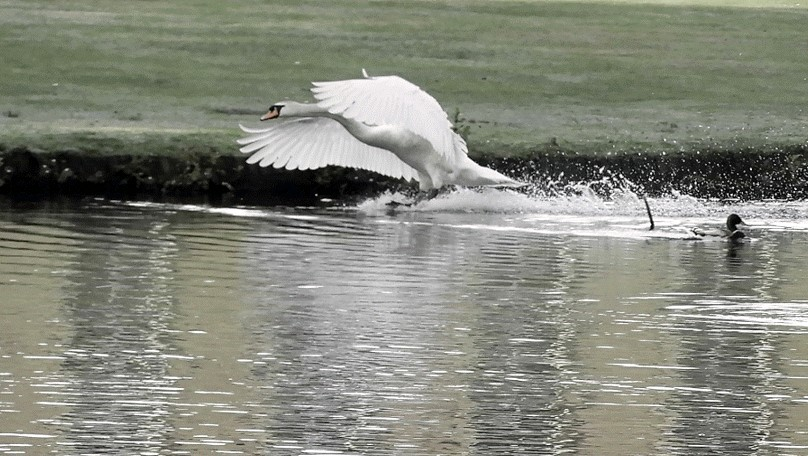 Swan (cob) in attack mode