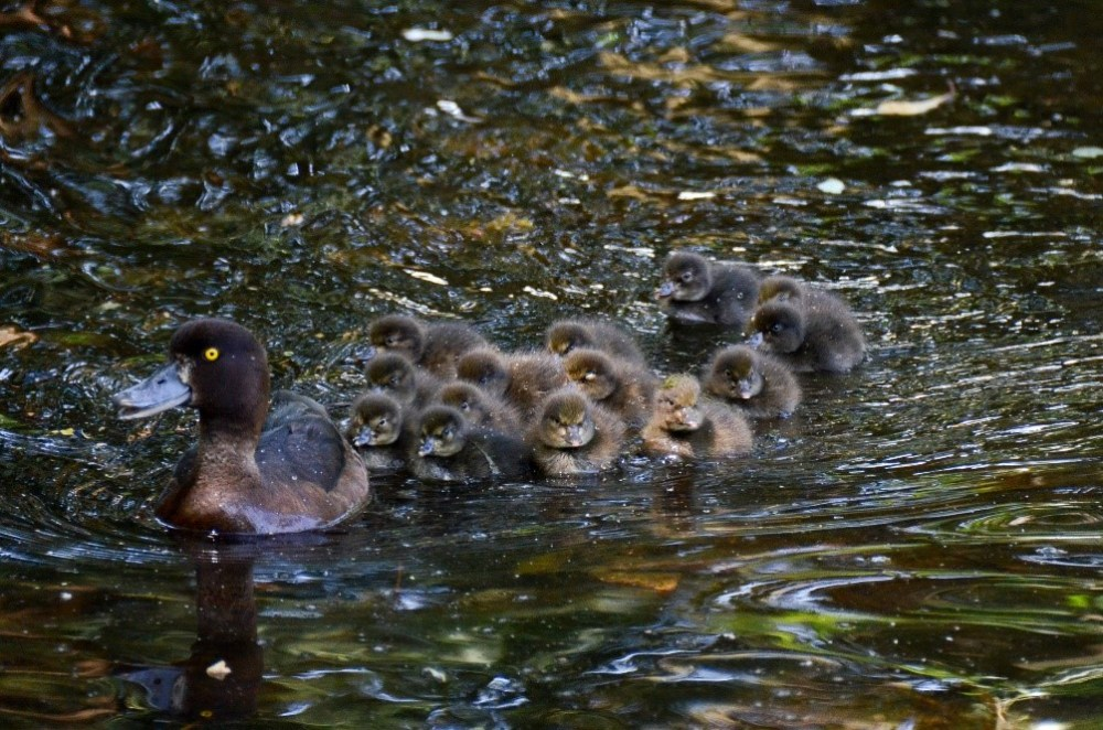 Tufted Ducklings