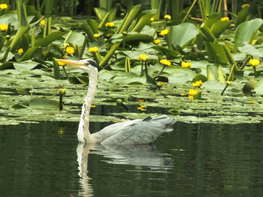 The Heron (RIP) swimming on Froebel Lake