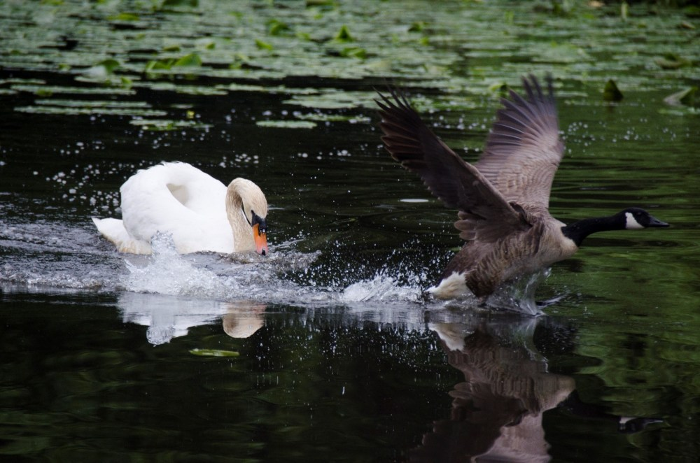 The male Swan (cob) chasing a Canada Goose from the lake