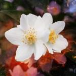 Iasomia –cum se cultiva si ce beneficii ofera