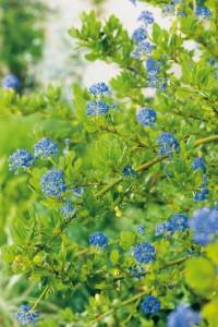 Cest le moment de planter les arbustes persistants  Roseraie Guillot