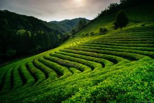 Boseong Green Tea-1