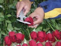 Measuring up: We keep a close eye on the head size of roses to ensure the biggest and best quality.