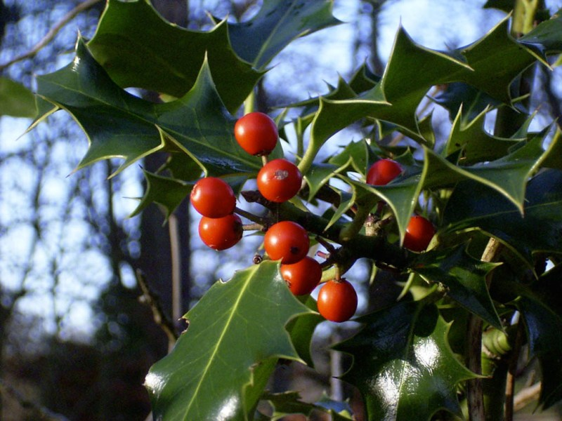 Some holly? I dunno, I thought it looked nice – and festive.