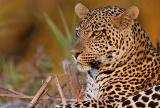 Leopard in the Game Reserve