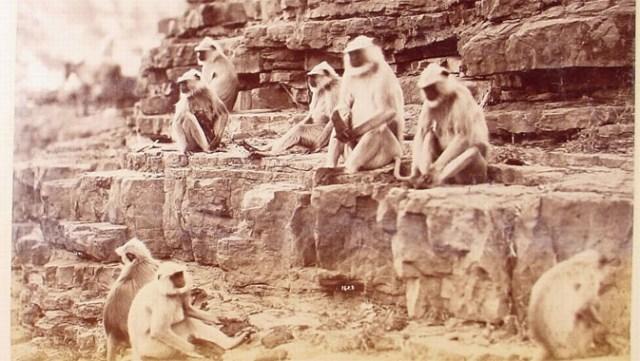 Monkeys at the temple at Onkarjee, Raja Deen Dayal