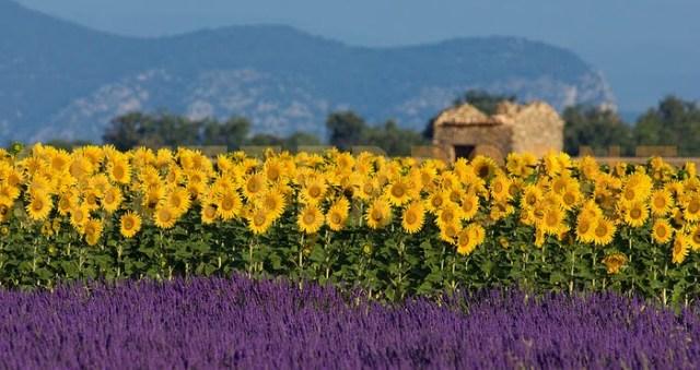 Sunflowers in Provence Courtesy: shelovesglam.com