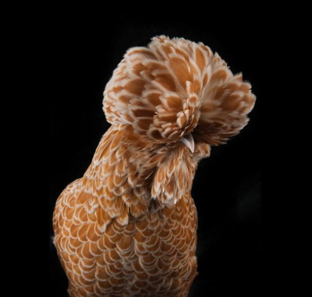 Portrait di una Gallina Padovana camoscio orlata bianca ©foto Richard Bailey
