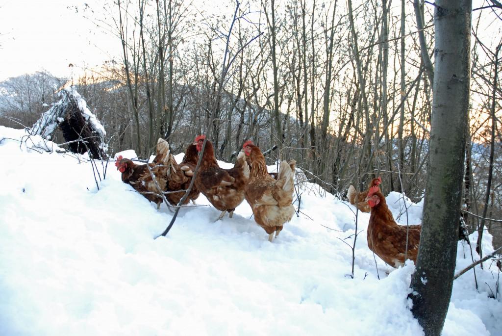 Passeggiata invernale delle ovaiole dell'allevamento Uovodiselva in Valtellina.
