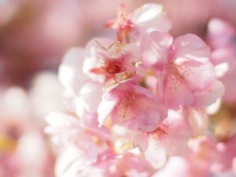 まつだ桜祭り