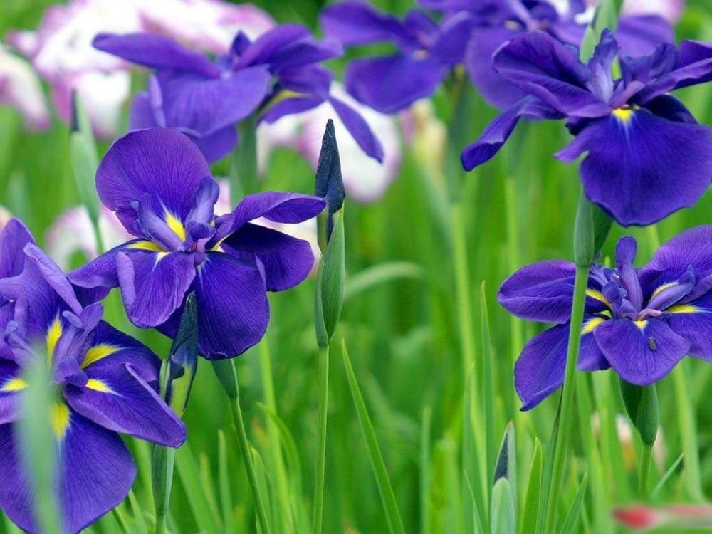 iris flower bloom