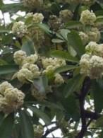 Flowers of Pulai trees