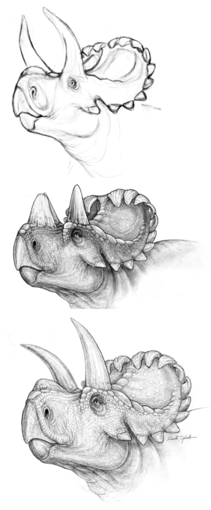 Draft sketches of Wendiceratops. Note in particular the difference in the horns in each version, modified after discussions with the authors and reading the literature. Image by Danielle Dufault, used with permission.