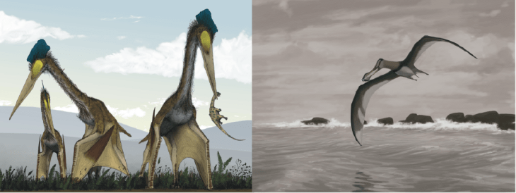 llustration of how some pterosaurs might have walked (left) and flown (right).