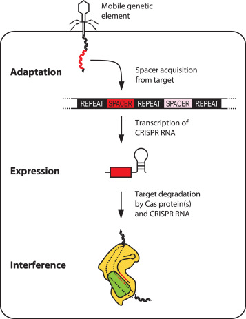 CRISPR-Cas9 mediated immunity is achieved in three steps.