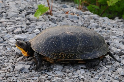 Blandings-Turtle_Carden_Photo-Bill-Macintyre